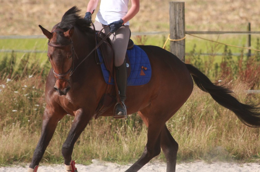 Tacante Tapis de selle EXCEL-ANSE dressage bleu roi cheval bai