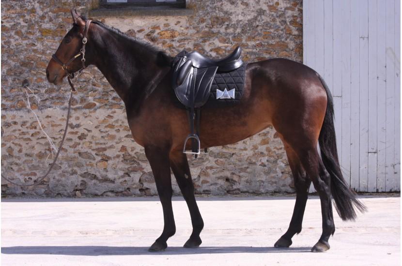 Tacante x Lamantia tapis de selle EXCEL-ANSE dressage noir porté sur cheval bai