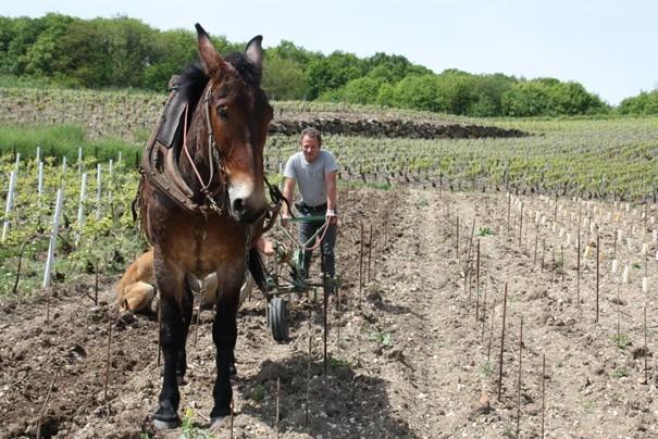 A cheval dans les vignes